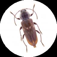 Insectes du bois